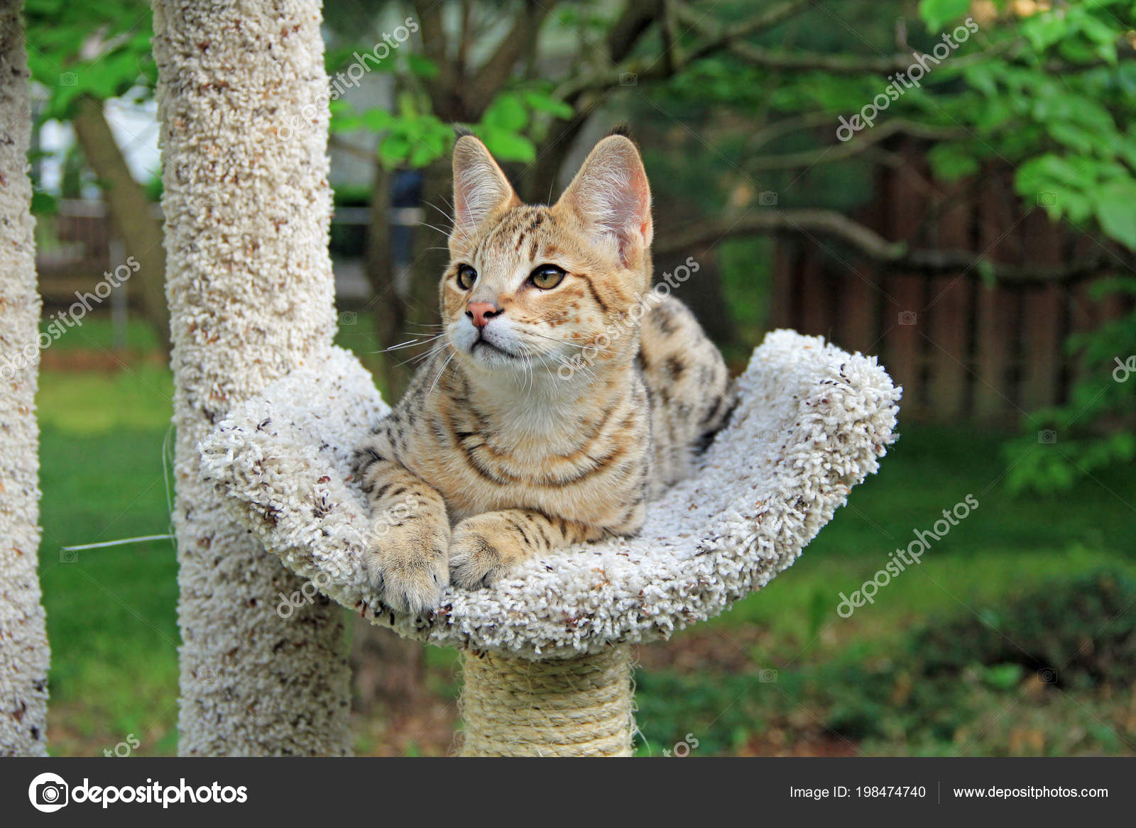 Savannah Cat Beautiful Spotted Striped Gold Colored Serval