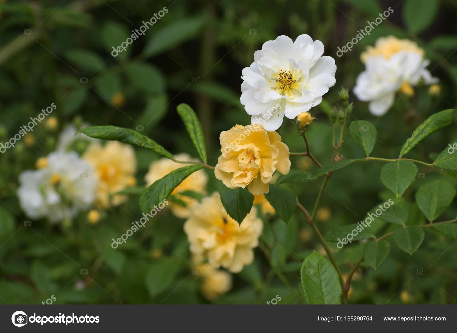 Albaricoque Flores Amarillas Blancas Practica Del Senderismo
