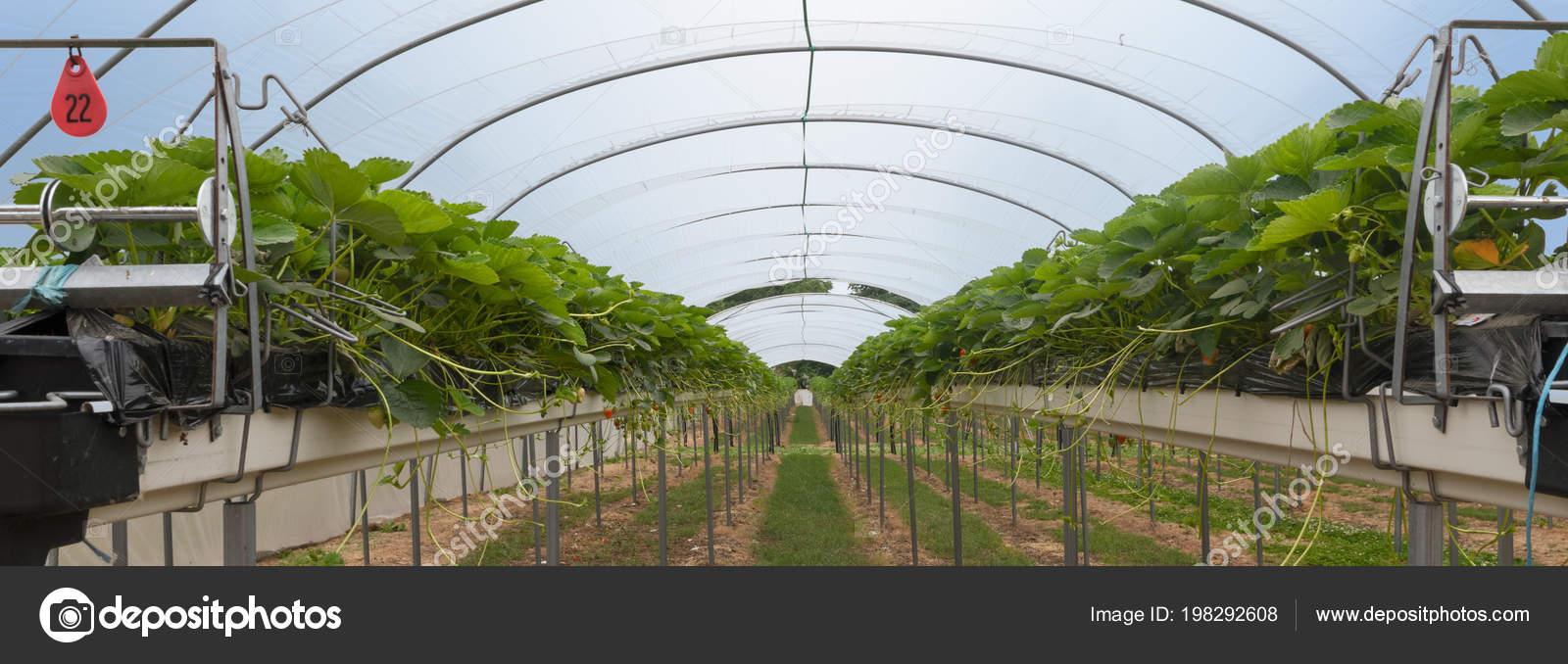 Erdbeere Gewachshaus Mit Hochbeeten Automatische Bewasserung Und