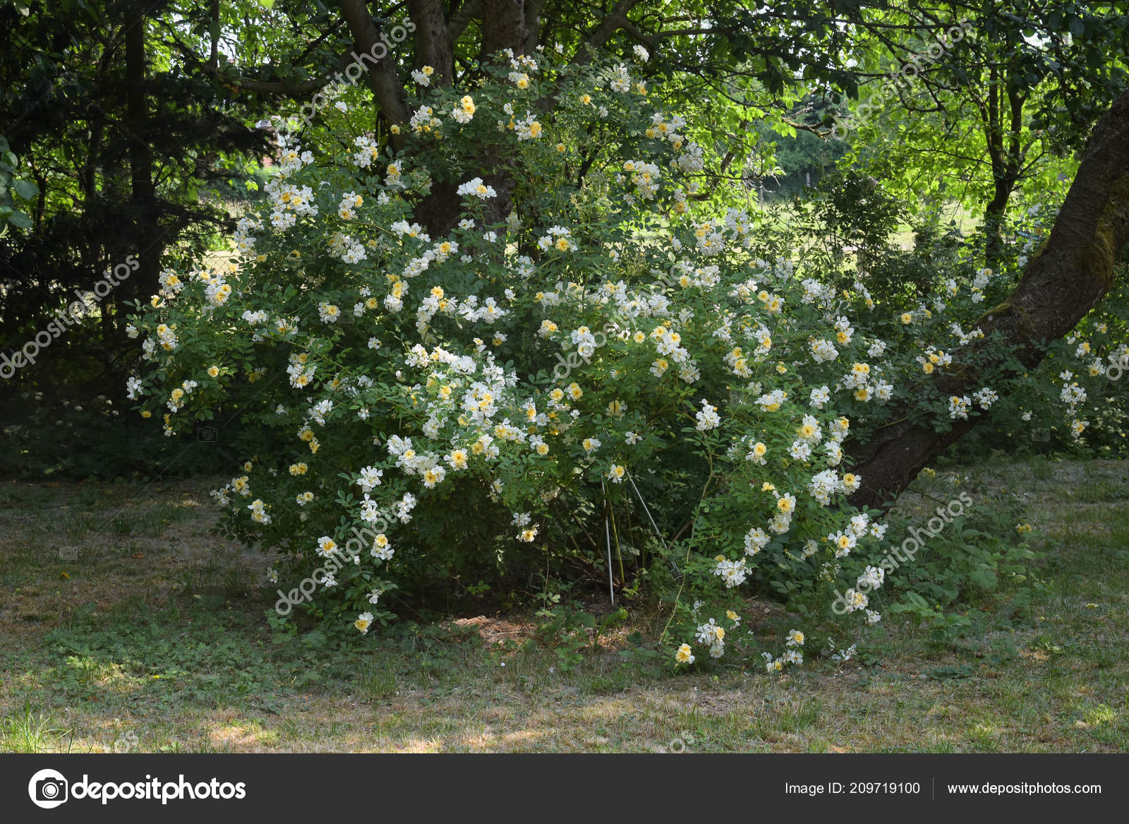 Rosa Arbusto Christine Helene Con Pequenas Flores Amarillas Blancas