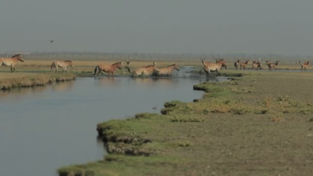 Herd of przewalski horses crossing the swamp in a field with deers at background (1080p, 50fps)