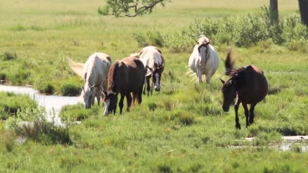 Braune und weiße Wildpferde streifen frei auf den Wiesen der Insel Assateague umher. Sie grasen zusammen an einem windigen Nachmittag.