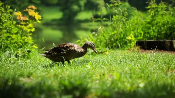Mallard or Anas platyrhynchos, female bird near pond in Czech Republic