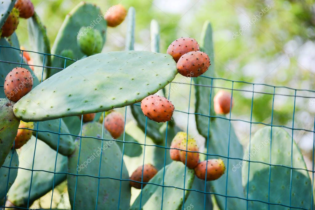 prickly pears wild fruit of sicily