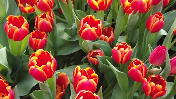 Gyönyörű virágzó virágok imbolygott a szél. Közelről. Lassított. Nyugodt filmszerű természet háttér.