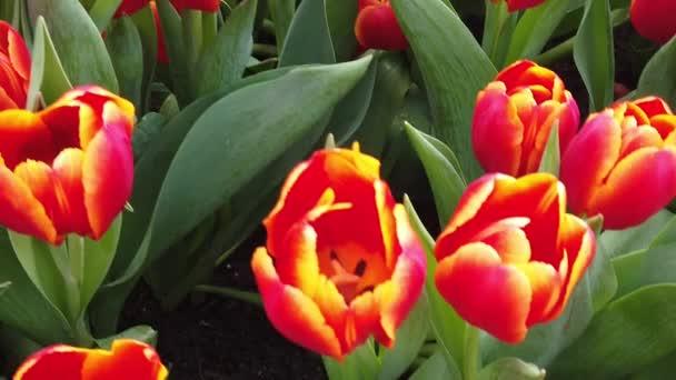 Nádherné kvetoucí květiny se pohupuje ve větru. Zavřít. Zpomaleně. Klid Cinematický původ.