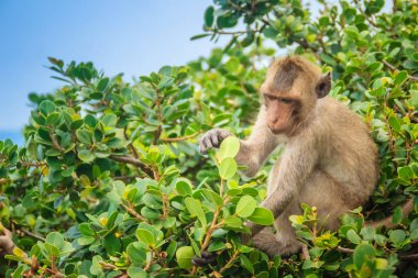 Cute monkey in a tree eating green leaves