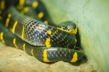 Scary Boiga dendrophila, commonly called the mangrove snake or gold-ringed cat snake, is a species of rear-fanged colubrid from southeast Asia.