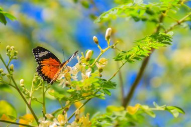 """Картина, постер, плакат, фотообои """"cute leopard lacewing butterfly (cethosia cyane), a species of heliconiine butterfly. beautiful orange black white spotted butterfly perching on wild flowers under clear blue sky background."""", артикул 226859496"""