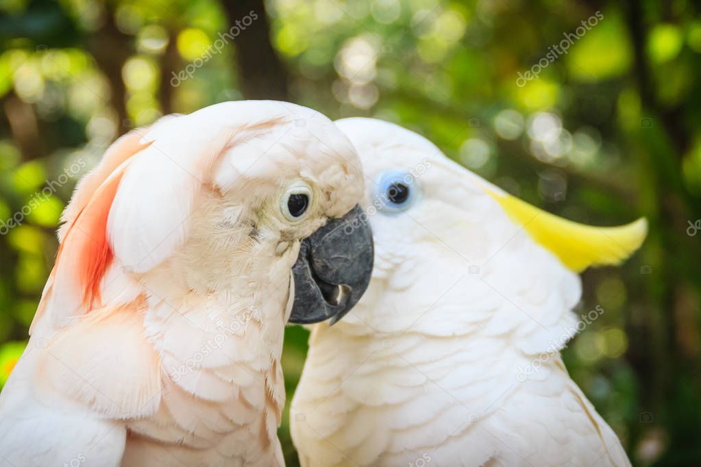 Lovely couple of cockatoos. Cute couple white cockatoos kissing and making love in the forest. Cockatoos are recognisable by the showy crests and curved bills.