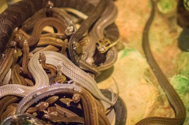 Group of water snakes (Homalopsidae) and their common name are water snakes, Indo-Australian water snakes, mud snakes, bockadam, ular air, and all are mildly venomous.