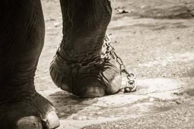 Leg chained elephant and look very pitiful.