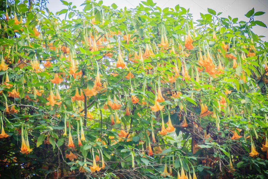 Yellow angel's trumpet flowers (Brugmansia suaveolens) on tree. Brugmansia suaveolens also known as angel trumpet, or angel's tears, is a South American species of flowering plants that grow as shrubs