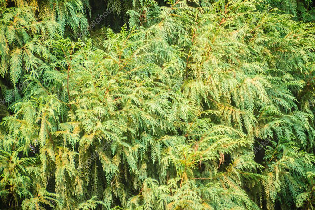 Evergreen Microbiota decussata (Siberian carpet cypress, Russian arbor-vitae) tree background. Microbiota is a monotypic genus of evergreen coniferous shrub in the cypress family Cupressaceae.