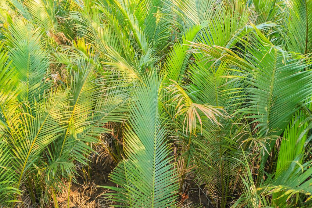 Green nipa palm (Nypa fruticans) forest with blue sky background.  Nypa fruticans also known as the nipa palm or mangrove palm and grow in soft mud and slow-moving tidal and river waters.