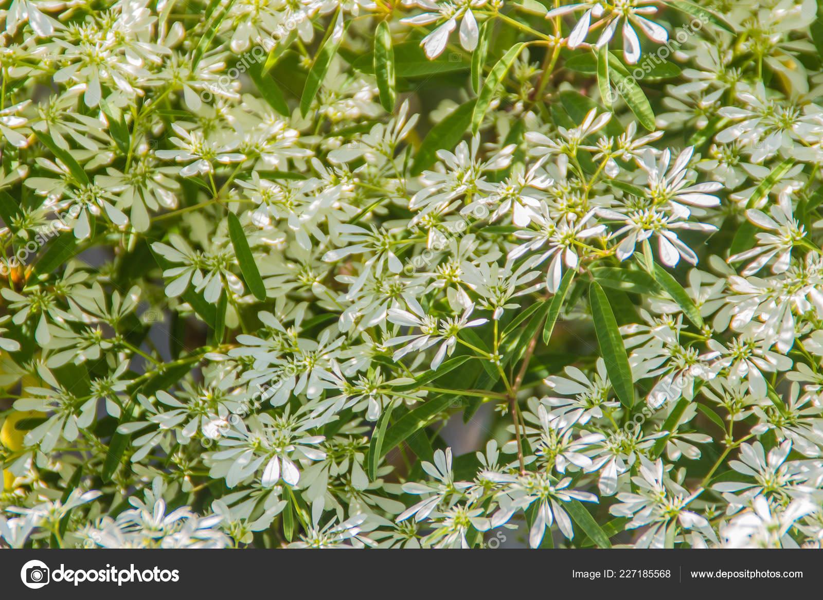 Christmas Bush Tea.Beautiful Little Christmas Flower Euphorbia Leucocephala