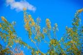 Photo Yellow flower of Siamese cassia tree (Senna siamea) with blue sky background. Senna siamea (Thai: khilek), also known as Siamese cassia, kassod tree, cassod tree and Cassia tree, native Southeast Asia