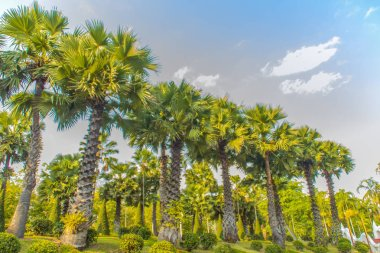 Row of Borassus flabellifer palm tree with green leaves and blue sky background in the green grass park, commonly known as doub palm, palmyra palm, tala, toddy, wine palm, or ice apple tree.