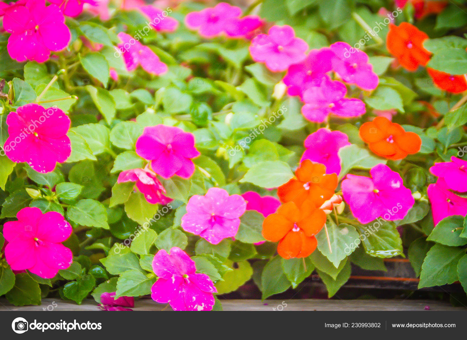 Close Beautiful Pink Petunia Flowers Green Leaves Background Copy Space Stock Photo Image By C Kampwit 230993802