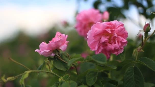 Růžové růže damascena zblízka