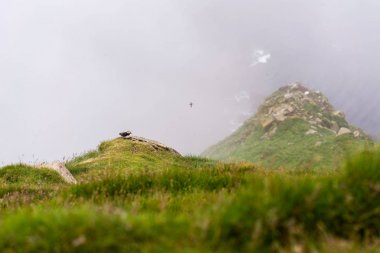 Puffin nesting on cliff above the ocean. Mykines island, Faroe.