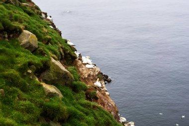 Faroese birds nesting on cliffs of Mykines island.