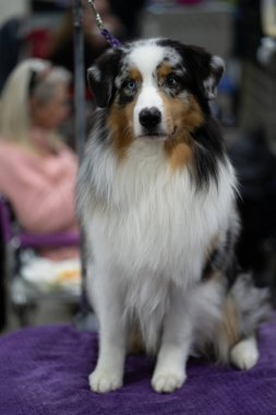 Novi, Michigan, USA - 01.17.2020: Michigan Winter Dog Classic Expo 2020 Day 1
