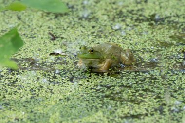 bright green frog with a spider is hiding in the lily pads