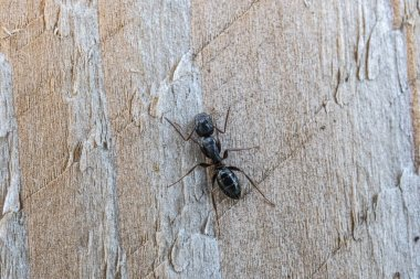 black ant on wooden fence post macro close up
