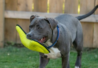 pitbull puppy has her favorite toy and is ready to play