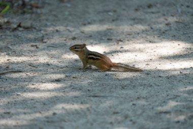 eastern chipmunk rodent, animal
