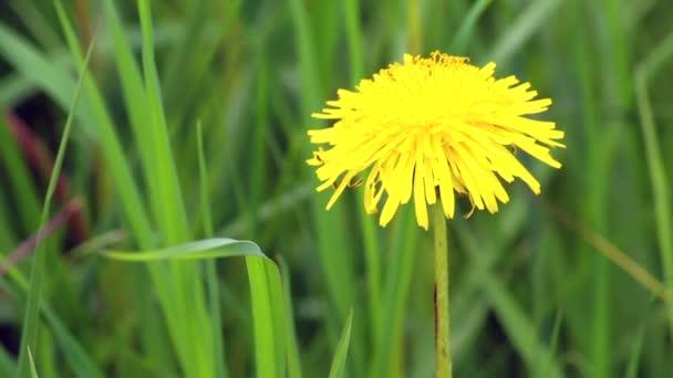 Žlutá Pampeliška na pozadí šťavnaté zelené trávy houpačky ve větru