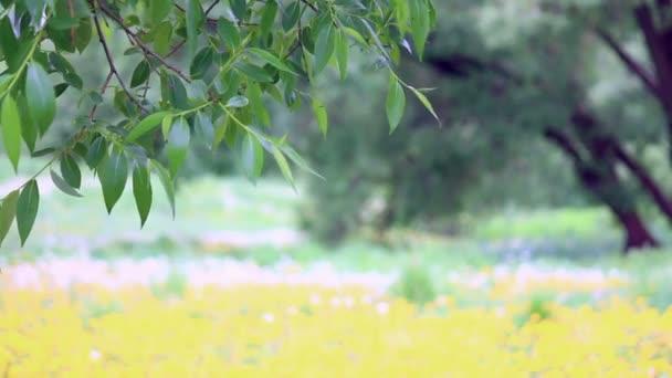 Větev stromu s zelenými listy se houpat ve větru na pozadí Rozkvetlá louka s žluté pampelišky