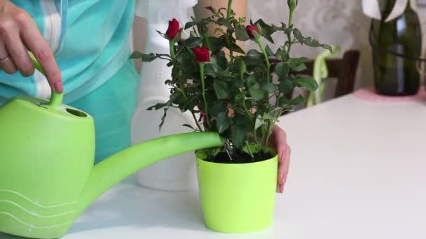 Dívka zalije transplantovaný keř růží v květináči z plechovky od vody. Postřikuje ji vodou z láhve se sprejem. Transplantace růžového keře zakoupeného v hypermarketu.