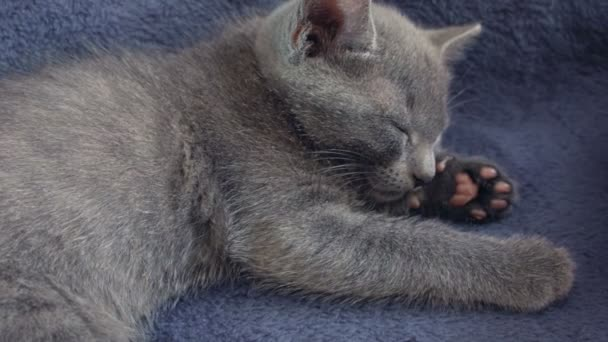 Közelkép egy telivér orosz kék cica kék háttér. Rögzített kamera nyers formátumban.