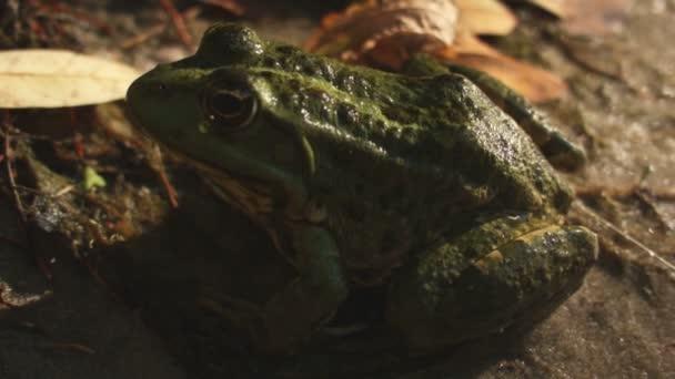 Nahaufnahme einer Kröte am Ufer in der Nähe eines Sumpfes. In Raw mit der Kamera aufgenommen.