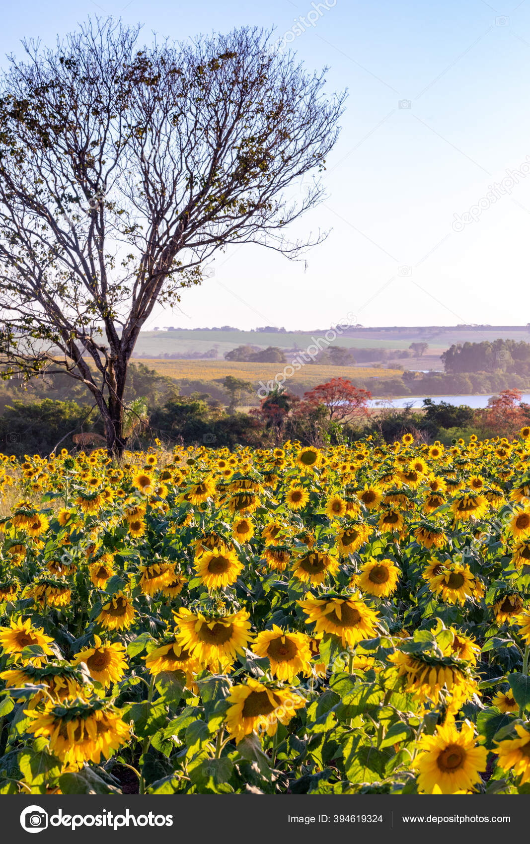 Ladang Bunga Matahari Pemandangan Perkebunan Bunga Matahari Bunga Matahari Stok Foto C Gersonfortes 394619324