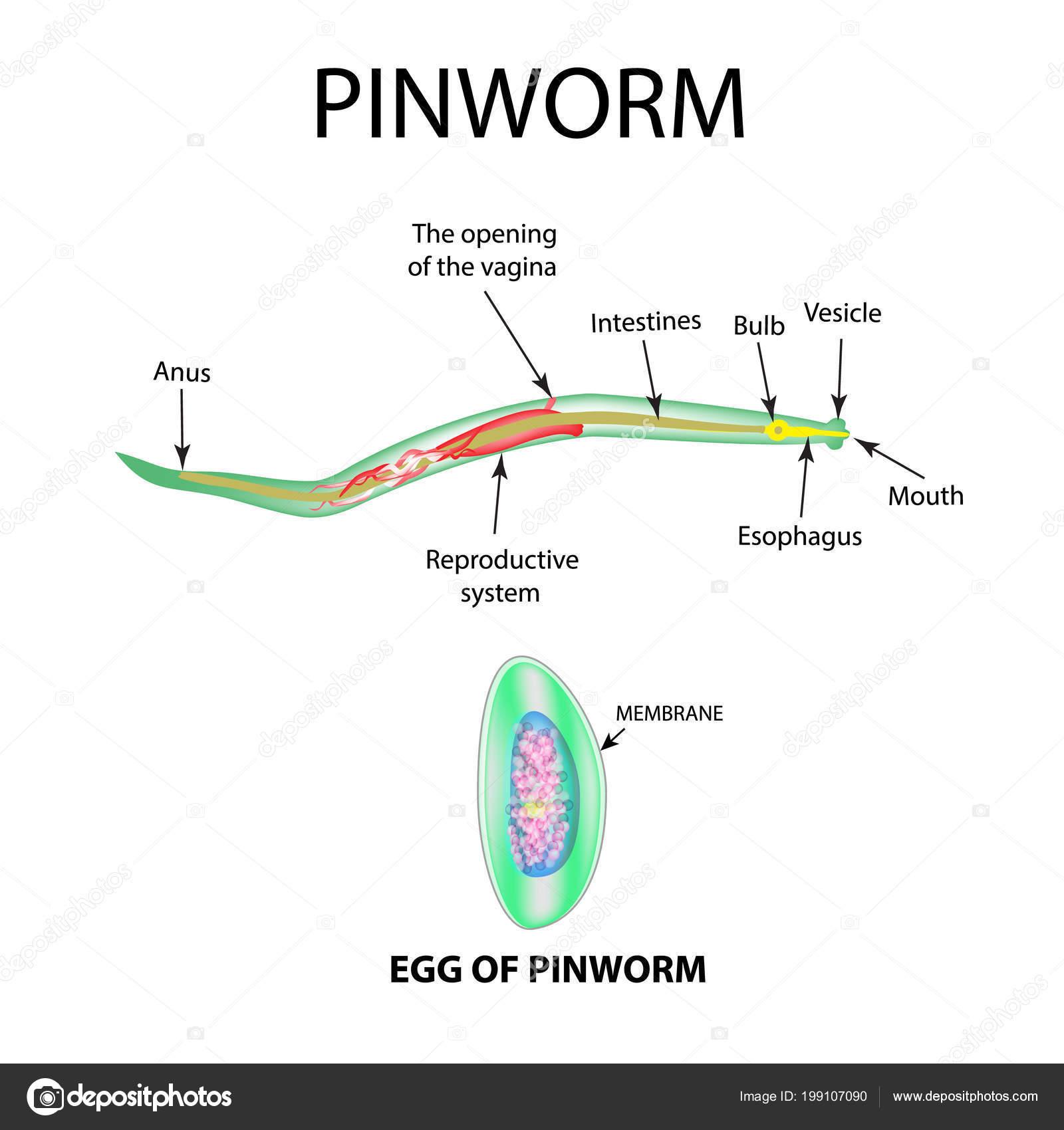 pinworm szerkezete bőr alatti férgek kezelésében