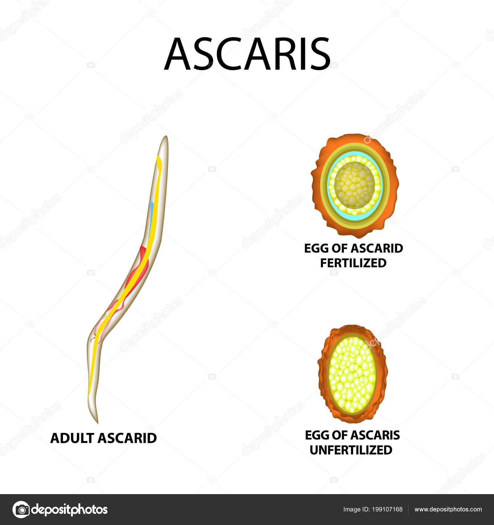 felnőtt Ascaris él
