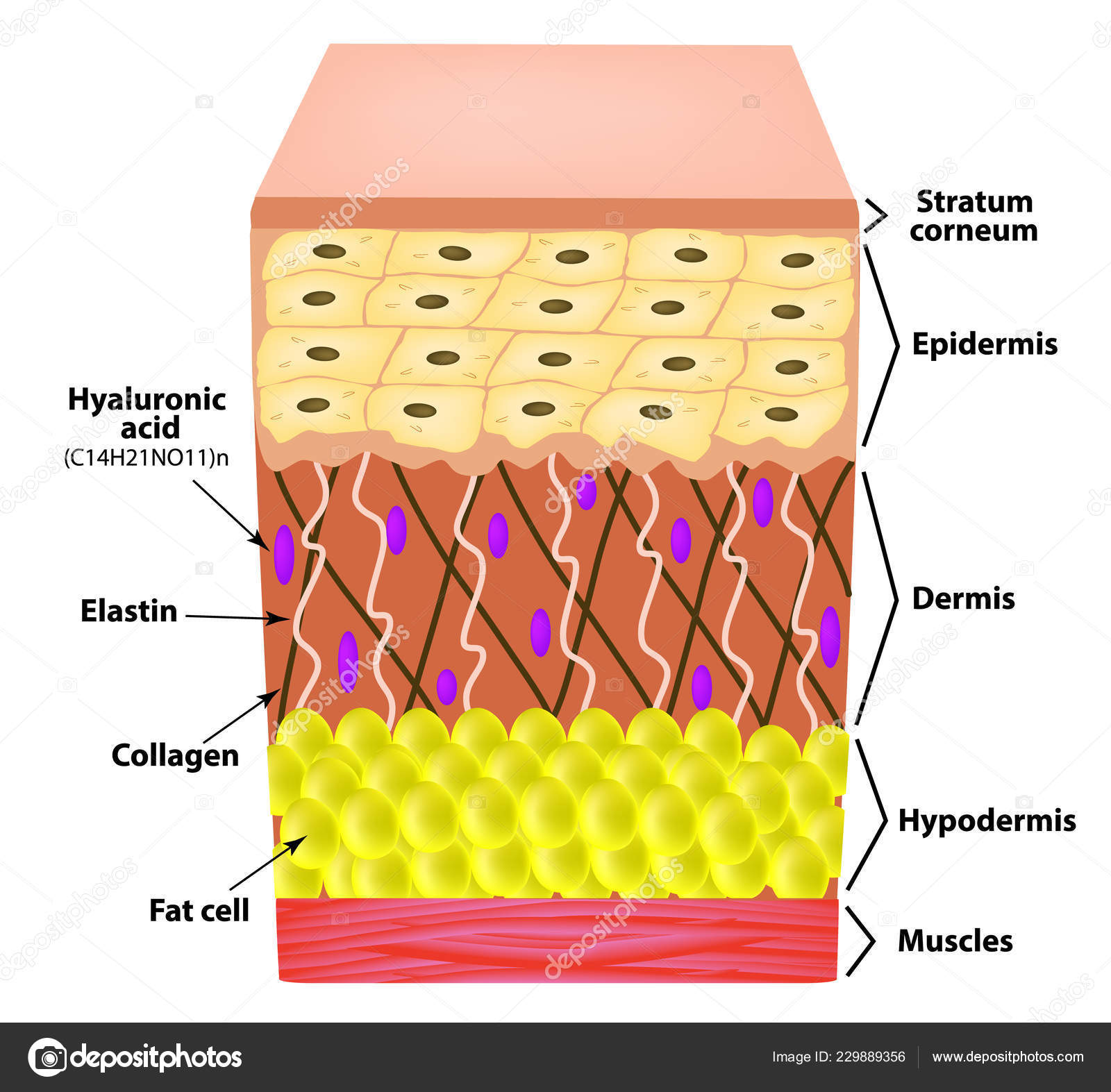 anatomical structure of the skin  elastin, hyaluronic acid, collagen   infographics  causes of wrinkles on the skin  vector illustration on  isolated