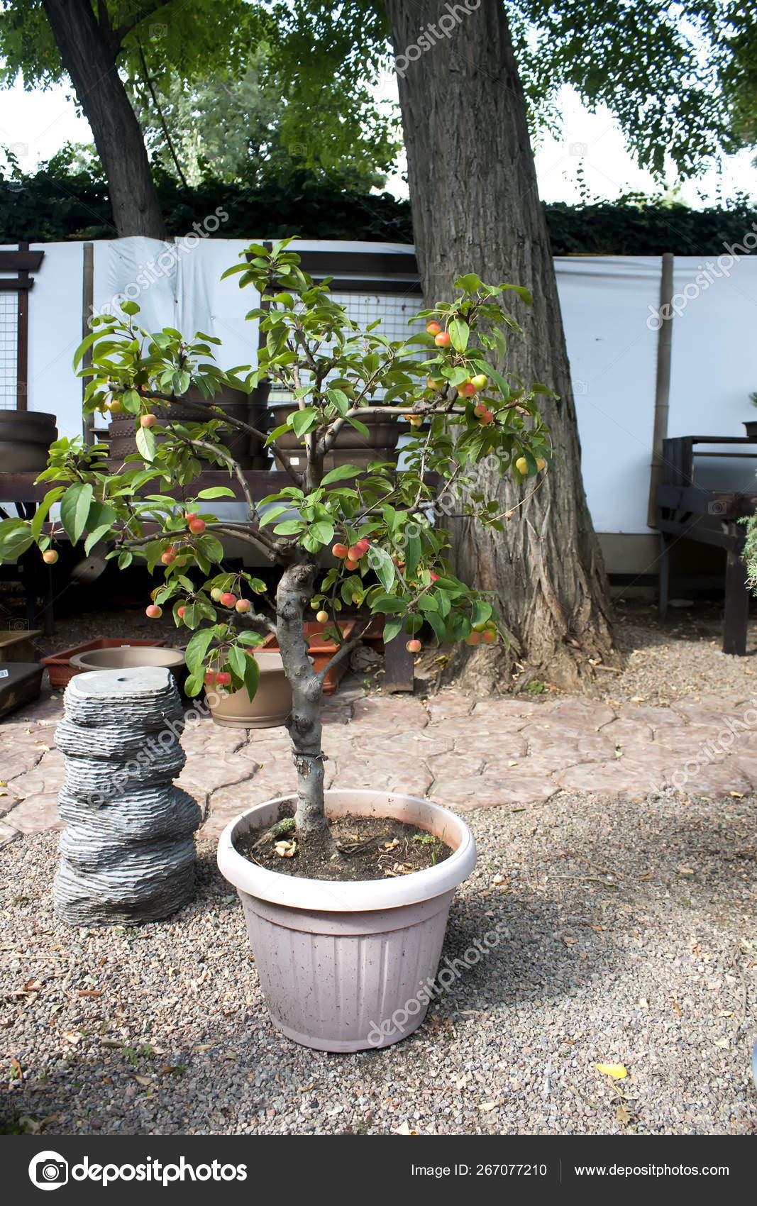Paradise Apple Tree In A Pot Miniature Tree Stock Photo Image By C Mikrostoker 267077210