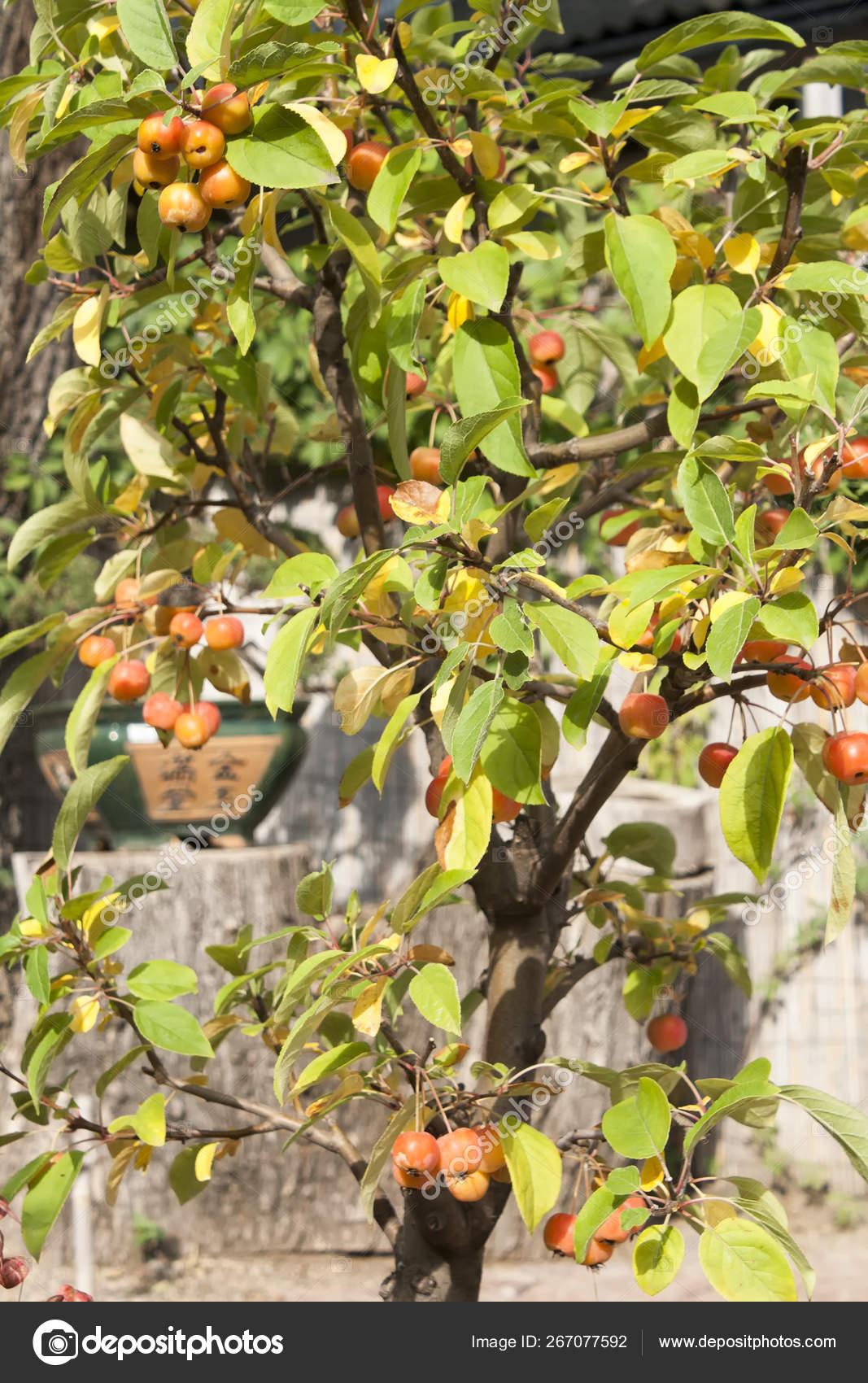 Paradise Apple Tree In A Pot Miniature Bonsai Stock Photo C Mikrostoker 267077592
