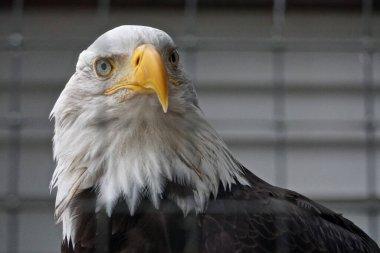 Sitka, Alaska: A bald eagle (Haliaeetus leucocephalus) at the Alaska Raptor Center.