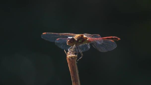Vörös szitakötő ül a füvön