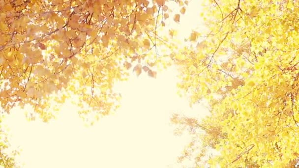 Sun Shining Through Fall Leaves Blowing In Breeze. Slow Motion.