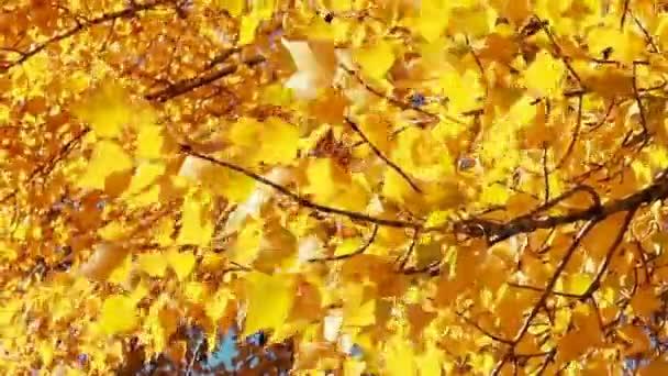Slunce prosvítající opadá listí vlající ve větru. Zpomalený pohyb.