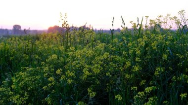 summer landscape, wild yellow and white flowers in the bright rays of the sun in the dawn, beautiful sunrise sky