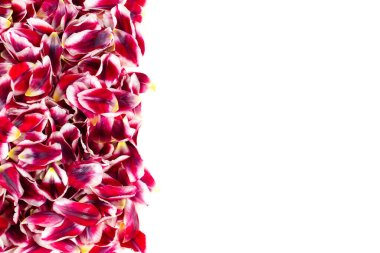 Vertical border with a group of the same petals of pink red tulips. White background with space for text.