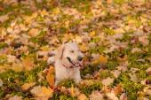 Closeup portrét bílého psa extraktoru venku.