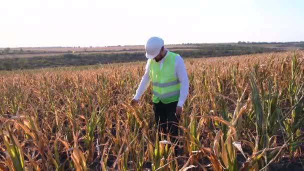 farmář sklízí kukuřičné sucho